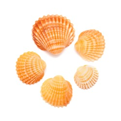 small cockle shells isolated on white background
