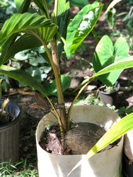 Small coconut tree growing from a coconut. Propagating a coconut tree from a seed.