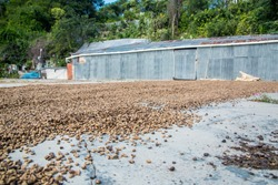 small coffee processing yard in the mountains of Ocoa, dominican republic.