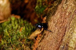 small common black beetle in the forest in europe, close up view on a dead wood