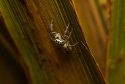 Small common jumping spider. Jumping spiders are a group of spiders that constitute the family Salticidae
