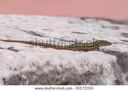 Small common lizard on wall