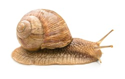 small common snail