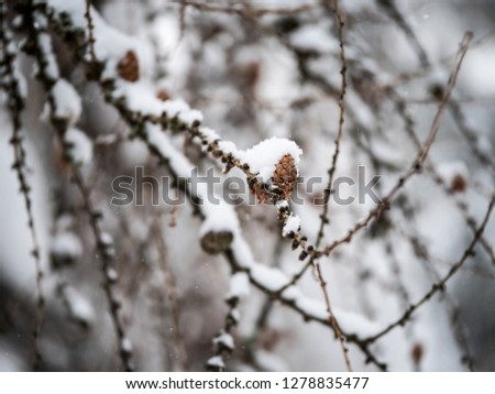Small cone on winter tree closeup. Cone and snow on macro photo. Winter forest and snpwy cone.
