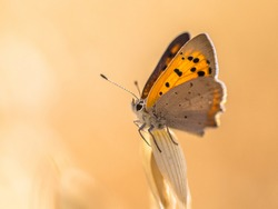 Small copper (Lycaena phlaeas) butterfly perched on cereal in field on a sunny day in july. Montferland, Gelderland, Netherlands