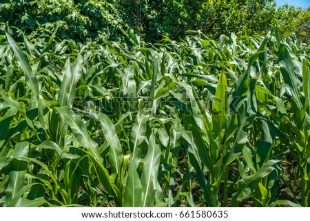 Small corn field agriculture. Green nature. Rural farm land in summer. Stock fotó ©