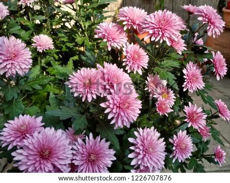 Small Crisantemo Flower Foto stock ©