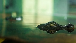 Small Crocodile eyes close up in lake