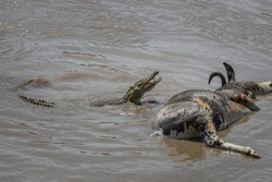 Small crocodile goes towards its prey showing its fangs, a wildebeest that could not cross the river