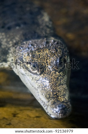 Small Crocodile waiting for it's prey
