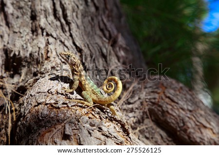 Small curly-tailed lizard basking in the sun