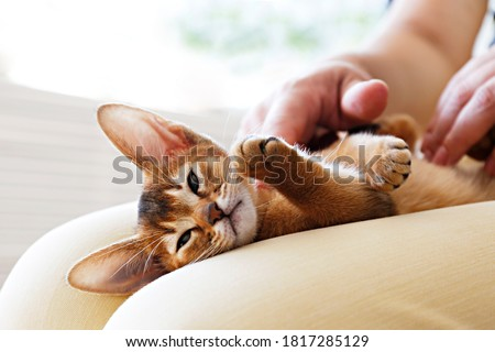 Small cute abyssinian kitten lying on young woman's lap in adorable poses background. Beautiful purebred short haired kitty being petted by its female owner. Close up, copy space. Zdjęcia stock ©