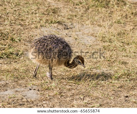 Small cute baby ostrich (5 days old)