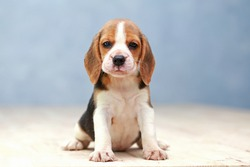 small cute beagle puppy dog looking up