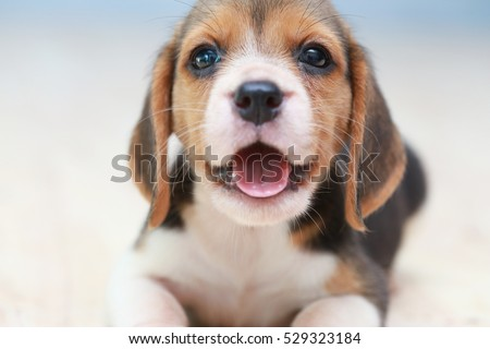 small cute beagle puppy dog...