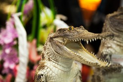 Small cute crocodile laughing with open mouth with lot of teeth. Reptile predator dangerous attack