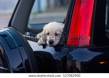 small cute dog looking from car window