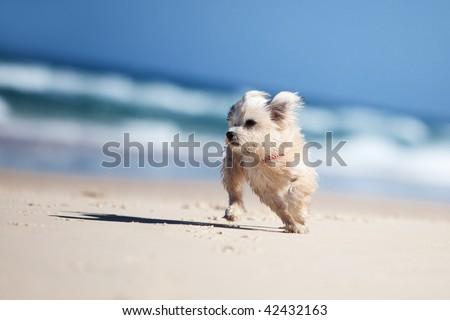 Small cute dog running on a white sandy beach
