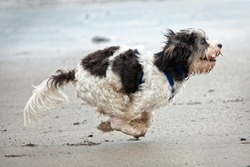Small cute dog running on sandy beach