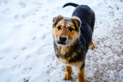 Small cute dog with the snowy muzzle looking at the camera