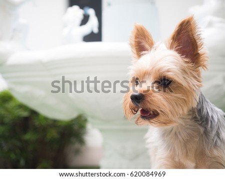 Small Cute Funny Yorkshire Terrier Puppy Dog Stand On The Rattan