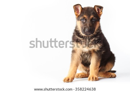small cute german shepherd puppy sitting on white background and looking straight into the camera. #358224638