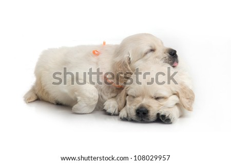 small cute golden retriever puppy,  on white background - stock photo