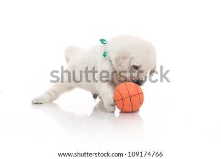 small cute golden retriever puppy play with orange ball,  on white background