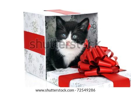 small cute kitten inside gift box