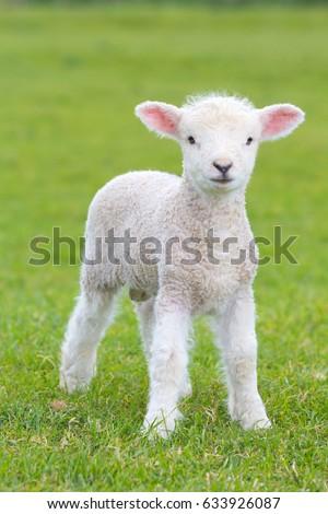 Small cute lamb gambolling in a meadow in England farm Stock fotó ©