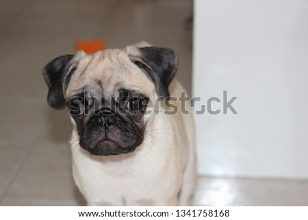Small cute pug