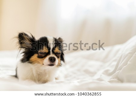 Small cute sleepy chihuahua dog is sleeping or napping on bed in bedroom in morning with light form window. Tried puppy sleep rest and relax on comfortable cozy in lazy weekend.