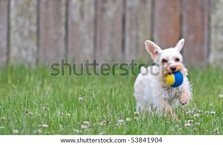 Small, cute white lap dog running with ears flapping and tennis ball in mouth