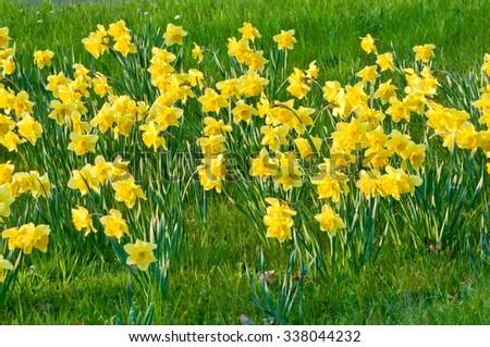 small daffodils field in green...
