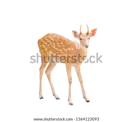 Photo of  Small dear standing isolated on white background with clipping path
