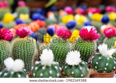 Small decorative cactuses closeup. Rows of cacti succulents with colorful blossom flowers in little pot growing in orangery or houseplants greenhouse. Green gardening business for house plants market Stock photo ©