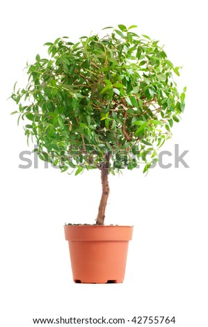 Small decorative tree isolated on a white