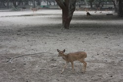 small deer among volcanic ash that surrounds their habitat