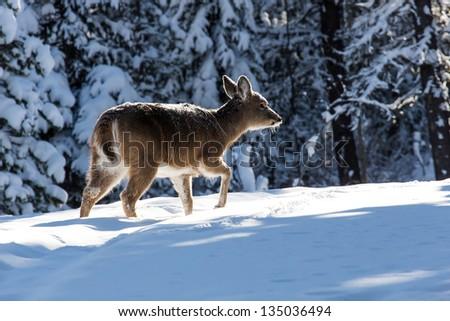 Small deer is walking in winter forest. Back lighting.