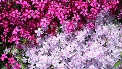 small delicate blooming phlox subulata of dark and light pink shade full frame, little garden decorative flowers for landscape design, natural bright background of spring phlox bloom
