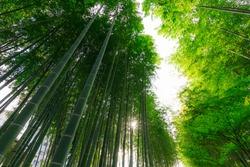 Small diameter of bamboo grove illuminated by the brilliance of sunlight