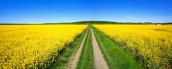 Small Dirt Road through Fields of Oilseed Rape in Bloom, Spring Landscape under Blue Sky