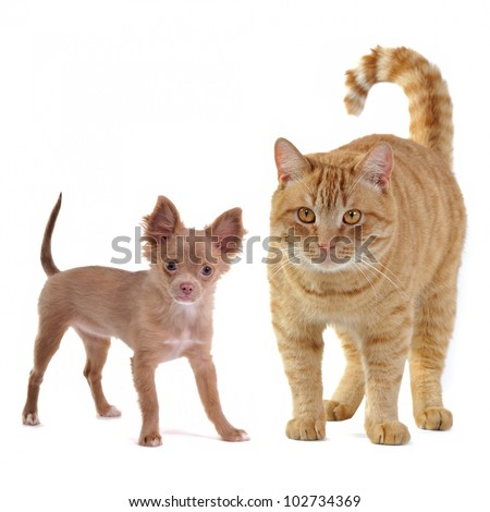 Small dog and big cat, isolated on white background