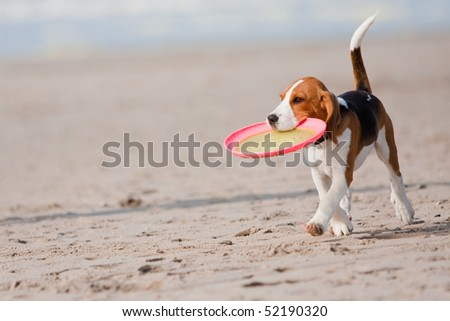 Small dog, beagle puppy playing with Frisbee on beach