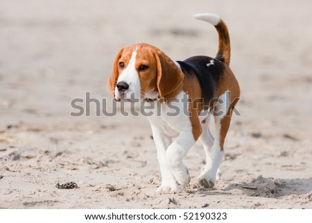 Small dog, beagle puppy walking on the beach