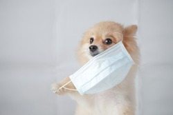 small dog breed or pomeranian with light brown hair sitting and wearing a anti pollution PM2.5 mask with white background. It feels uncomfortable so it trying to pull mask out