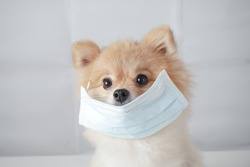 Small dog breeds or Pomeranian with brown hairs sitting on the white table with white background and wearing mask for protect a pollution or disease, Concept virus, coronavirus protection.