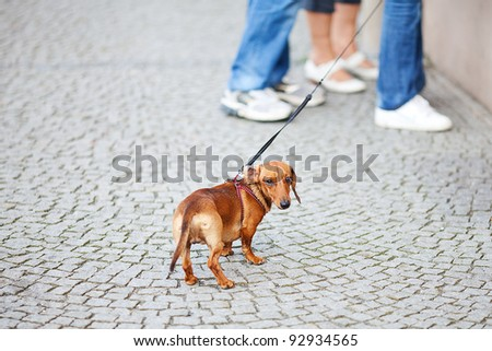 small dog dachshund against the paving stones