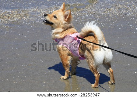 Small dog enjoying playful time on beach