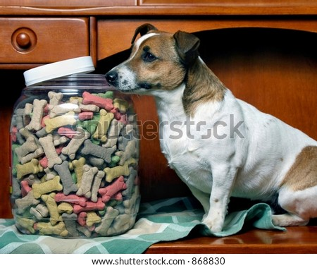 Small Dog getting into cookie jar